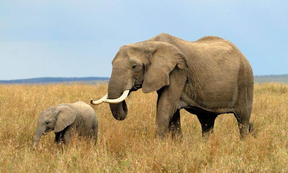 Why are african elephants endangered