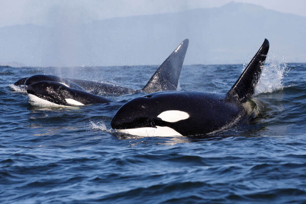 are orcas endangered