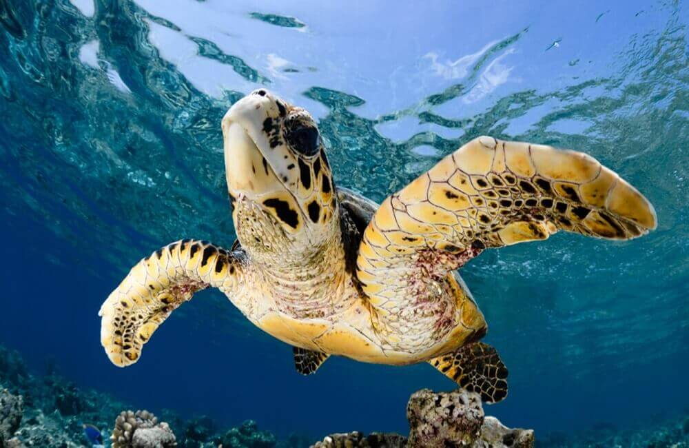 Why are sea turtles endangered