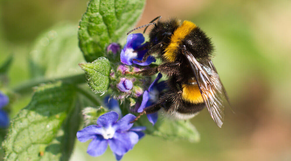 are bumblebees endangered