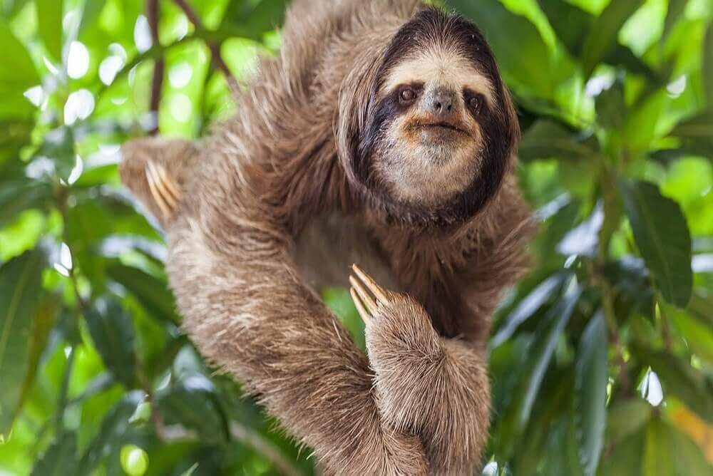 Why are sloths endangered