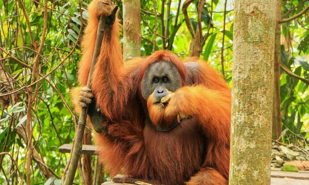 Are orangutans endangered