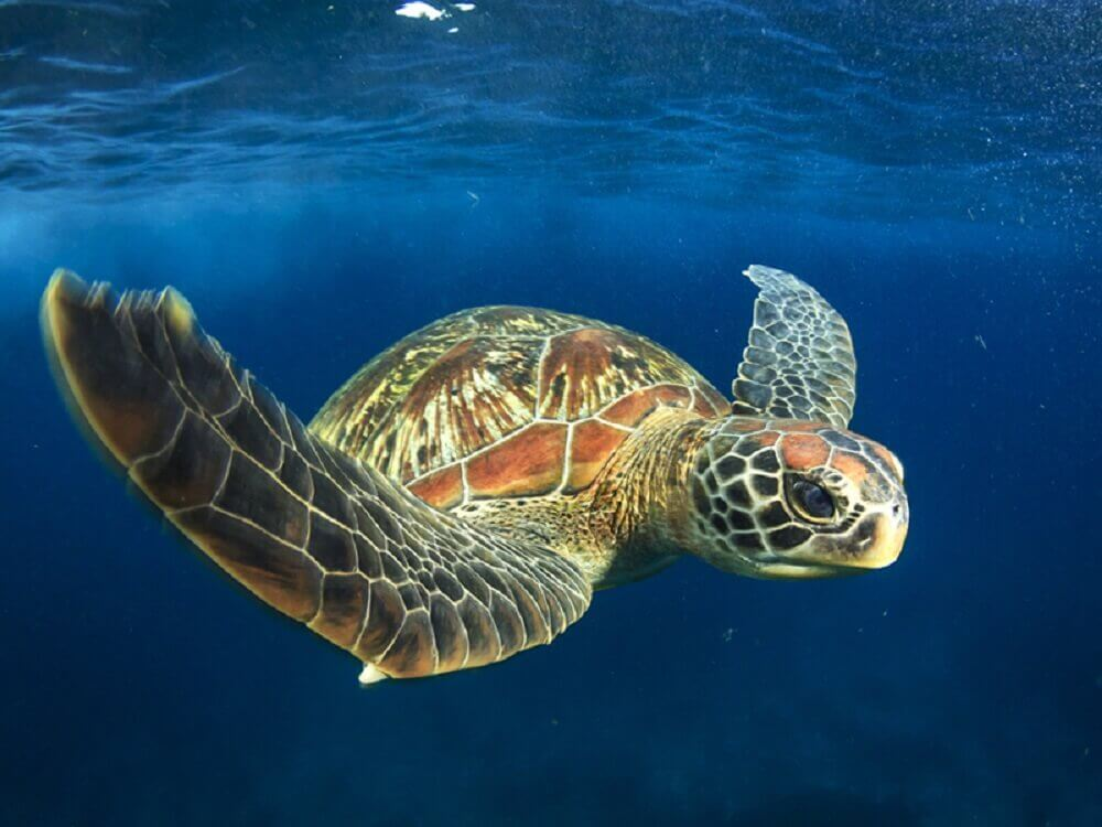 Sea Turtle Endangered