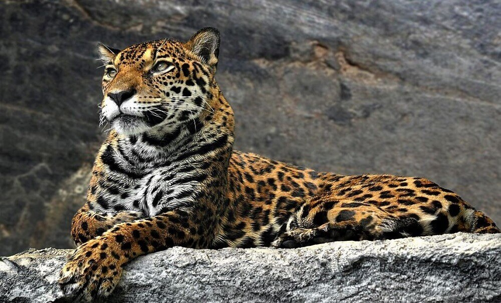 Why are amur leopards endangered