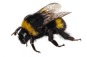 Why are bumblebees endangered