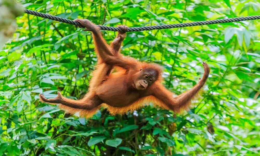 Why are orangutans endangered