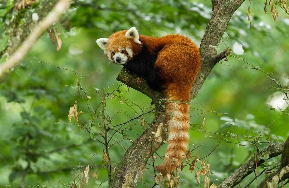 Why are red pandas endangered