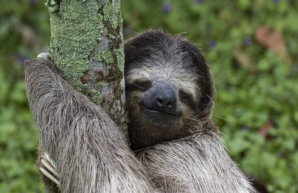 Are sloths endangered
